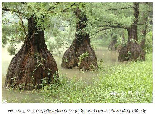 Vòng gỗ Nu Thủy Tùng Xanh Việt Nam